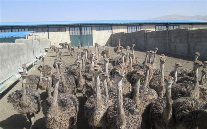 پرورش دهنده شترمرغ